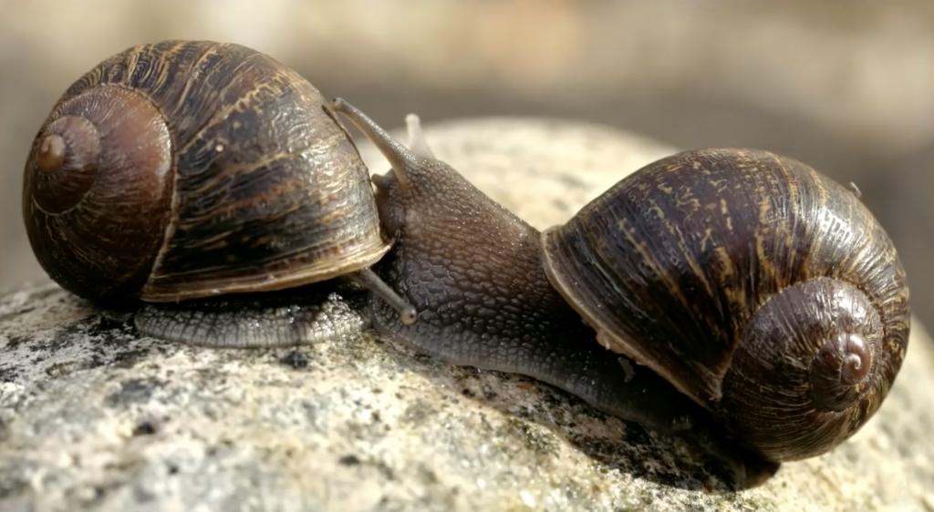 lefty snail_freshwater snail_snail genes